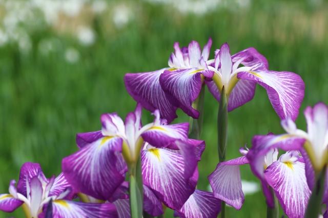 花菖蒲の育て方!土作りや、植え替えや株分けの時期と方法を詳しく紹介